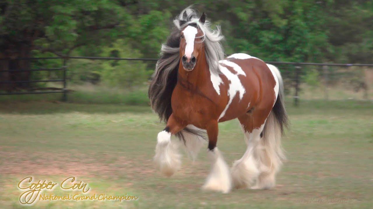 Gypsy Vanner Horse Stallion