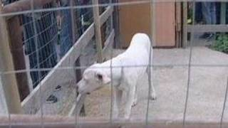 Scampia (NA) - Sequestro di cani da combattimento ai clan