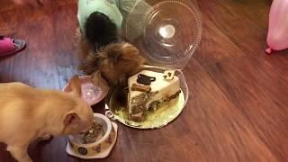День Рождения собаки //Торты для собак Пудель Штрудель