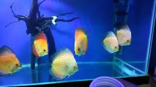 Memberi makan Ikan Discus dengan Pelet Takari