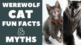 Lykoi Cats 101 : Fun Facts & Myths