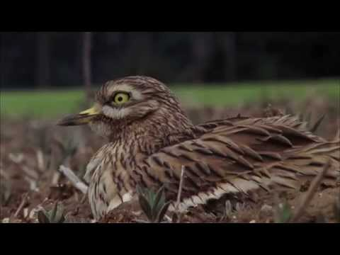 Nature minute: stone curlew