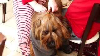 Бесплатный курс причесывания собак ( бриаров ) - курс 1