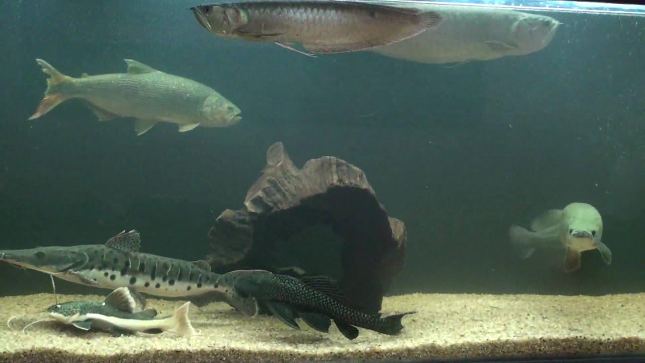 My new giant arowana | MonsterFishKeepers.com |Giant Arowana