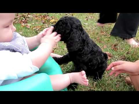 Licorice Black Moyen Poodle movie