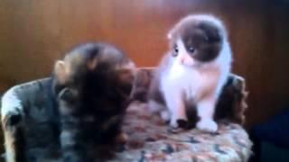"""Вислоухие котята питомника  """"Beauty Star"""""""