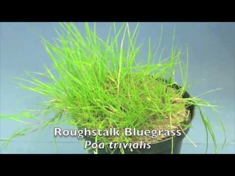 Cool Season Turfgrasses - Part 1