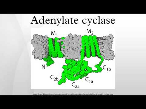 Adenylate cyclase