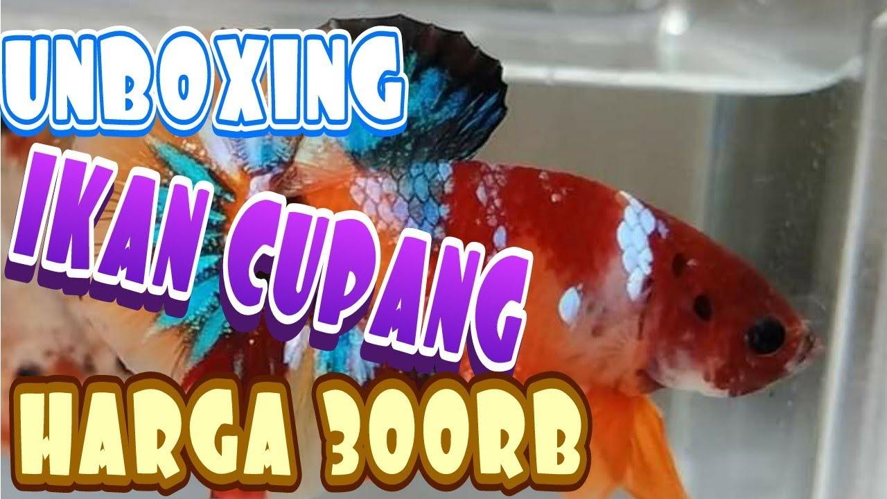 Unboxing ikan cupang Koi emerald harga 300rb - YouTube