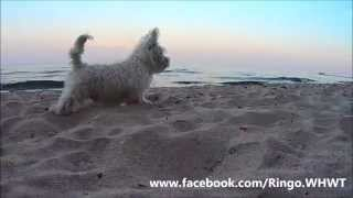 West Highland White Terrier Puppy First Time On The Beach! (baltic Sea)