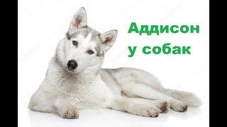 Болезнь Аддисона у собак. Ветеринарная клиника Био-Вет.