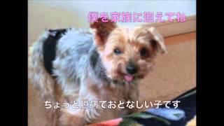 保護犬 「タケル」 ヨークシャーテリア 『人間と動物の共生を図る社会の...