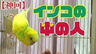 【関西弁インコ】自分が何者かカミングアウトしました! thumbnail