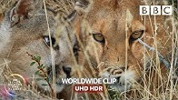 Puma mum risks serious injury hunting guanaco for hungry cubs - Seven Worlds, One Planet | BBC Earth
