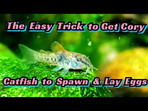 How To Breed Cory Catfish! Spawning Corydoras Venezuelanus For Profit. Species Spotlight! + Care,