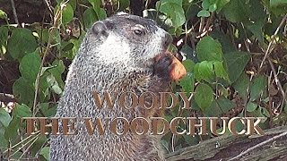 Adorable Woodchuck Eating Banana and Carrots in HD