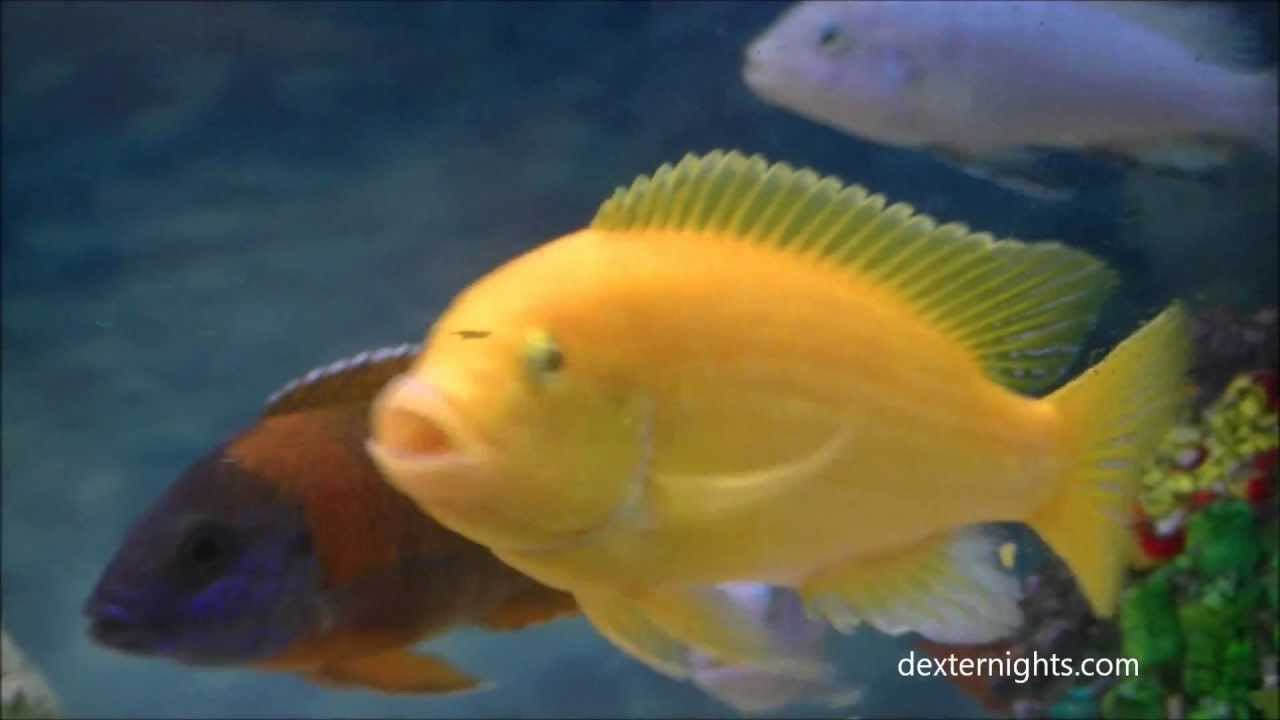 yellow cichlid fish - photo #40