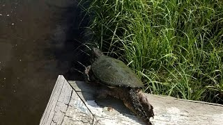 Eastern Snapping Turtle in the cast net