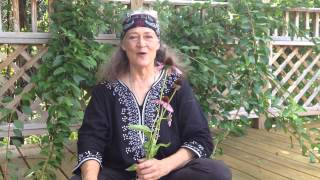 Echinacea flowers and root uses with Susun Weed