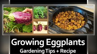 How To Grow Eggplants - A Complete Guide To Growing Eggplants (Solanum Melongena) + RECIPE!