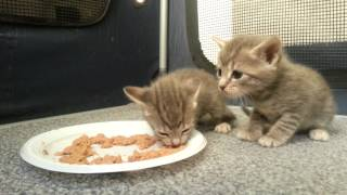 Kittens eating food for the first time
