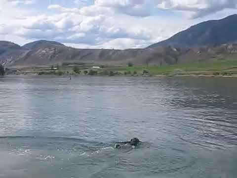 Our dog Spice jumping in river to fetch   3