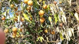 Citrus Tree Sick Sun City AZ 480 969 8808 Warners Tree Surgery 01 21 2017