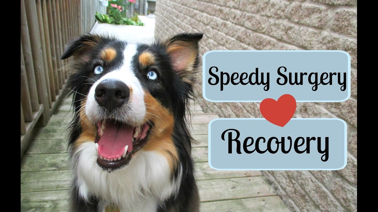 Tips For A Speedy Recovery From Surgery (Dog/Cat) |Life With Aspen|