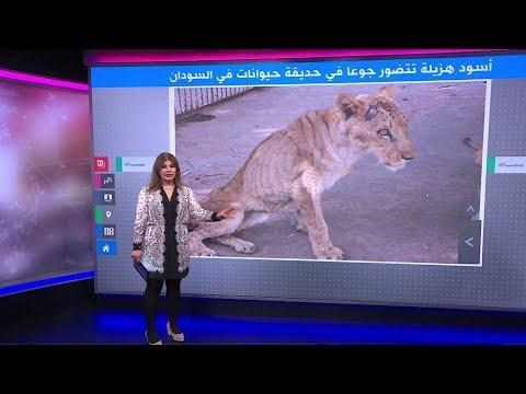 أسود هزيلة تتضور جوعا داخل حديقة حيوان تصدم السودانيين  - نشر قبل 26 دقيقة