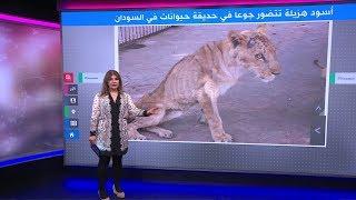 أسود هزيلة تتضور جوعا داخل حديقة حيوان تصدم السودانيين