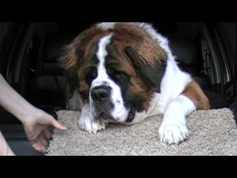 The World's Most Stubborn Dog (Saint Bernard)