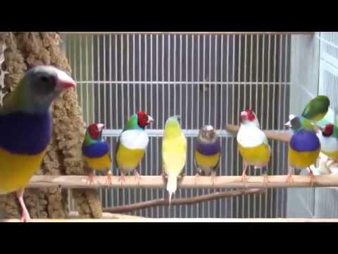 Kicau Pipit Pelangi ˜˜˜| Burung Pipit Kaya Warna Lucu Imut |˜˜˜