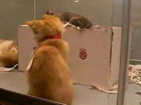 Amazing Manx cats II