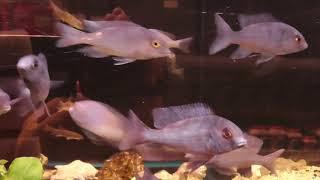 цены на аквариумных рыбок, Циртокара мури, cyrtocara moorii