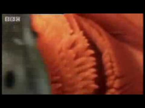 toothpick fish