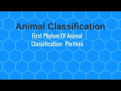 Porifera- First Phylum Of Animal Classification