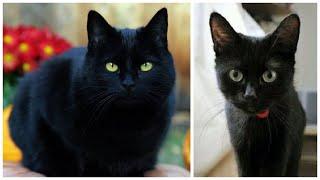 12 Interesting Bombay Cat Facts
