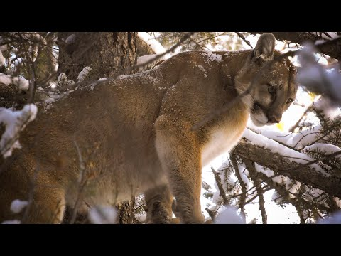Cougar Hunting With Dogs (Mountain Lion Bow Hunting)
