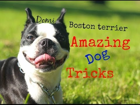 Boston terrier Domi - Amazing dog tricks (part 1)