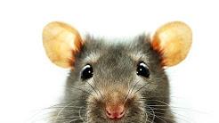 hqdefault - Symptoms Of Depression In Rats