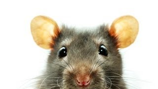How to Know If Your Rat Is Sick | Pet Rats