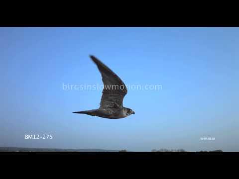 Peregrine Falcon Slow Motion In Flight shot on Phantom HD Gold - 3 Shots