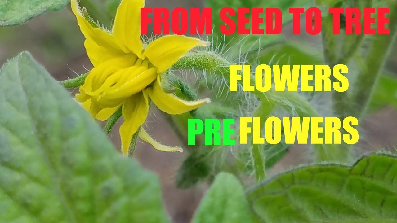 THE ANATOMY OF A TOMATO PLANT - YouTube