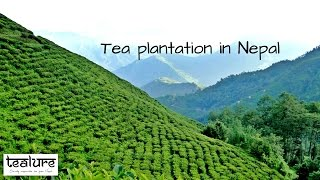Tea plantation in Nepal