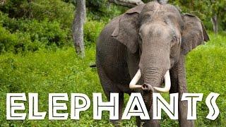 Elephants for Children: Learn All About Elephants - FreeSchool