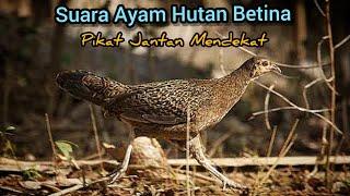 Download SUARA AYAM HUTAN BETINA (Cocok Untuk Pikat Jantan) |AMPUH