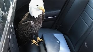 fhp trooper rescues bald eagle