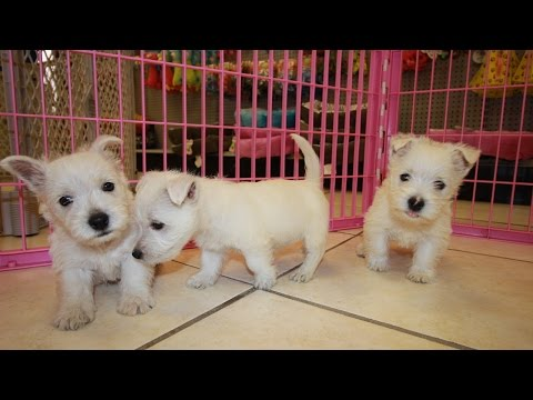 West Highland White Terrier, Westie, Puppies, Dogs, For Sale, In Atlanta, Georgia, GA, Savannah