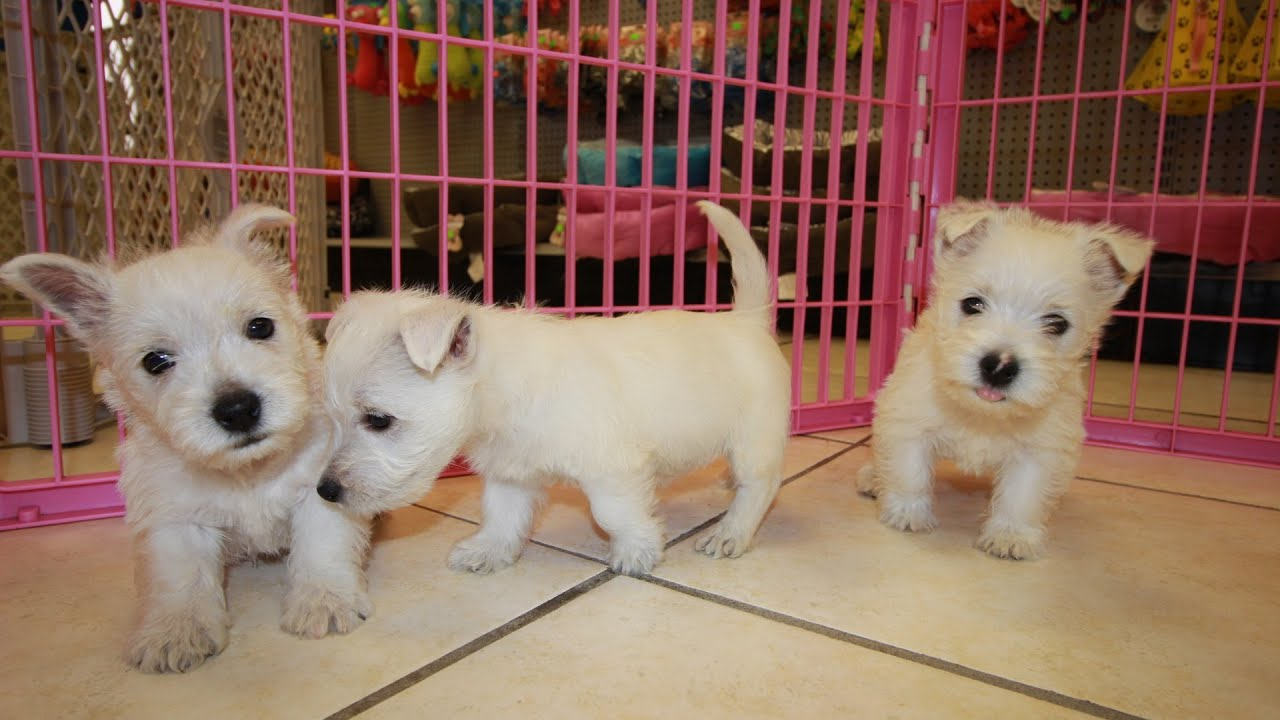 West Highland White Terrier Westie Puppies Dogs For