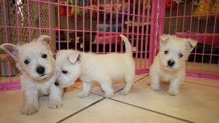 Westie, West Highland Terrier Puppies For Sale Local Breeders